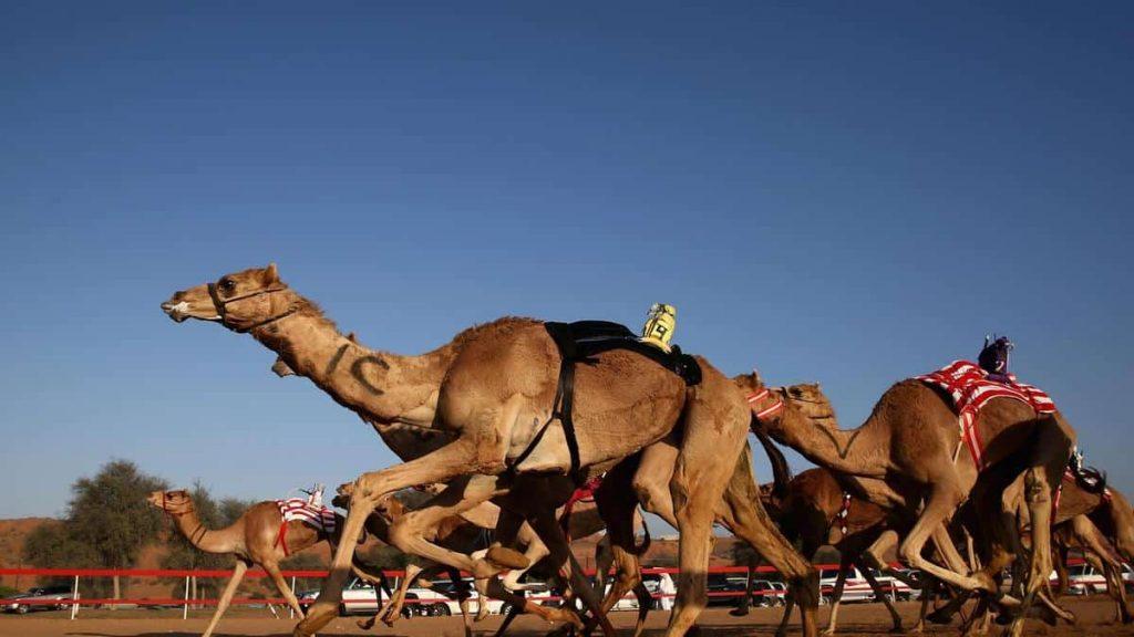 Camel Racing in Ras Al Khaimah
