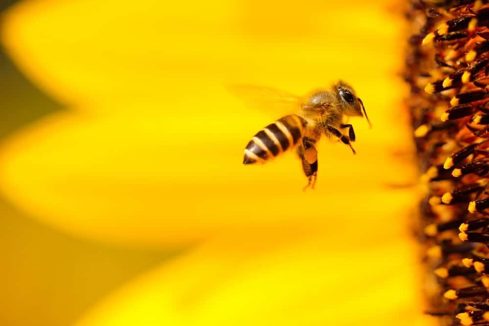 Honey Bees in RAK